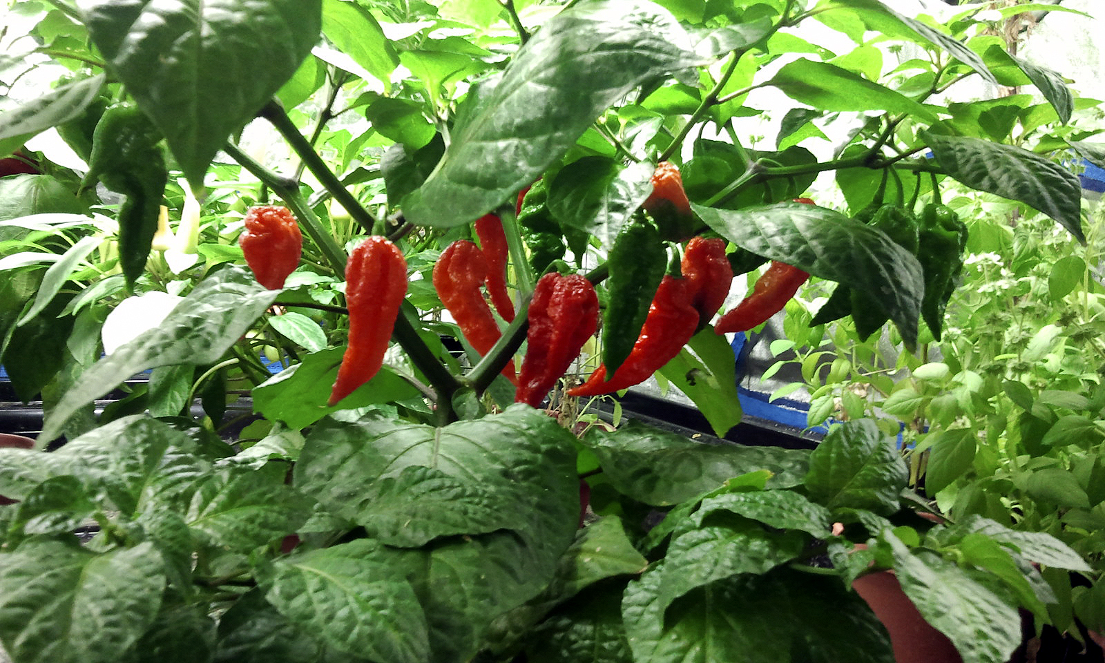 2011-12-30-week-18-ghost-pepper.jpg